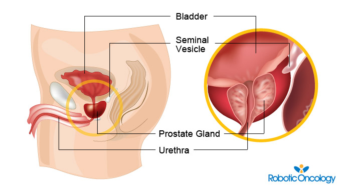 what is the prostate? - samadi robotics foundation, Cephalic Vein